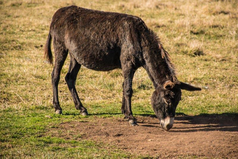 Jonge ezel die gras op gebied eten stock fotografie