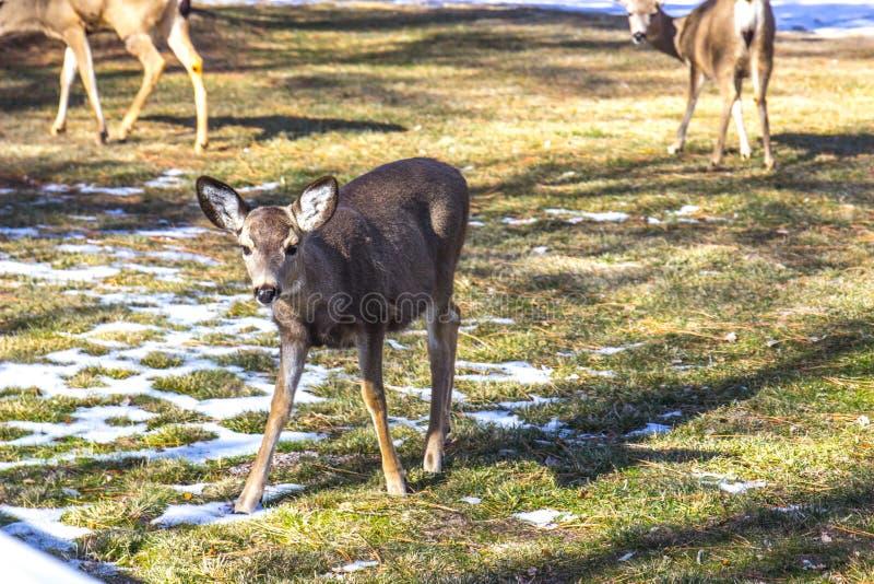 Jonge Fawn In Winter Grazing stock afbeeldingen