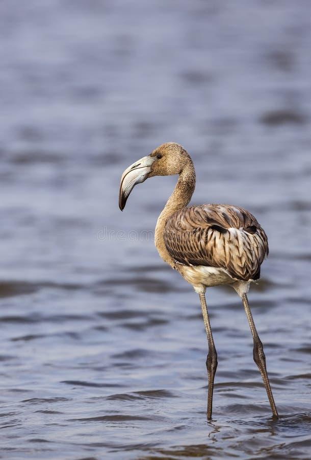 Jonge flamingo stock afbeelding