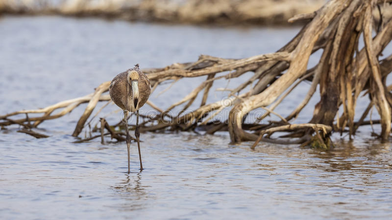 Jonge flamingo stock afbeeldingen
