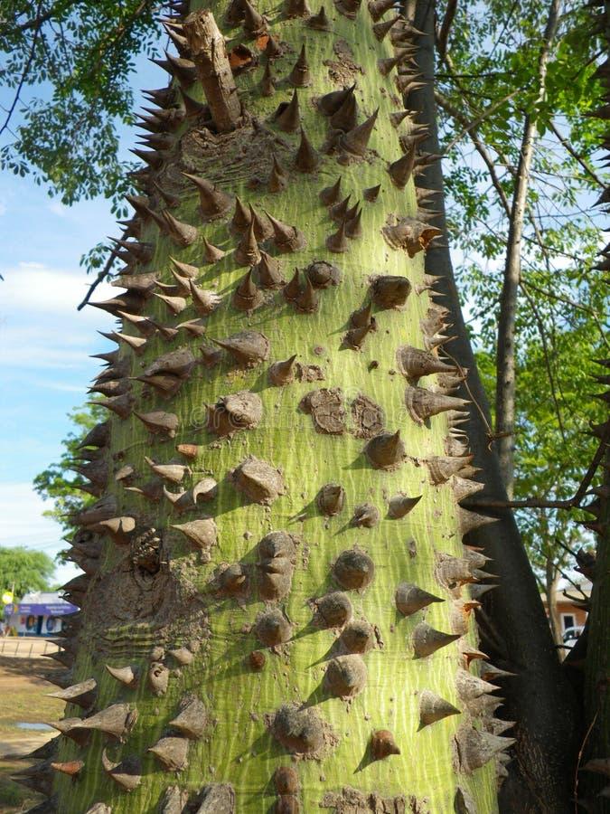 jonge flessenboom stock afbeeldingen