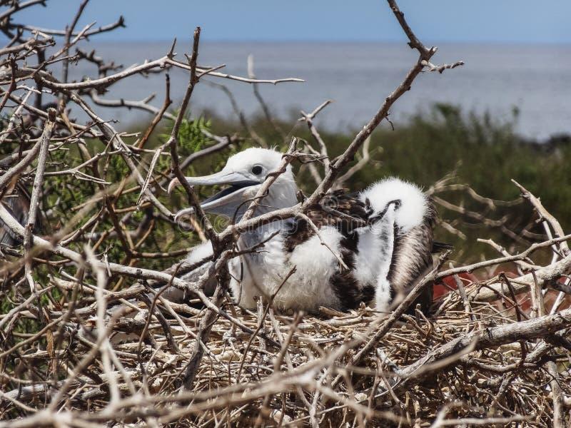 Jonge frigatebird op nationale het parkecu van de Galapagos van het genovesaeiland stock afbeeldingen