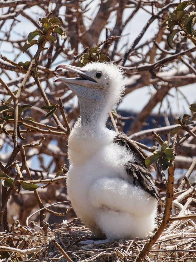 Jonge frigatebird op nationale het parkecu van de Galapagos van het genovesaeiland royalty-vrije stock fotografie