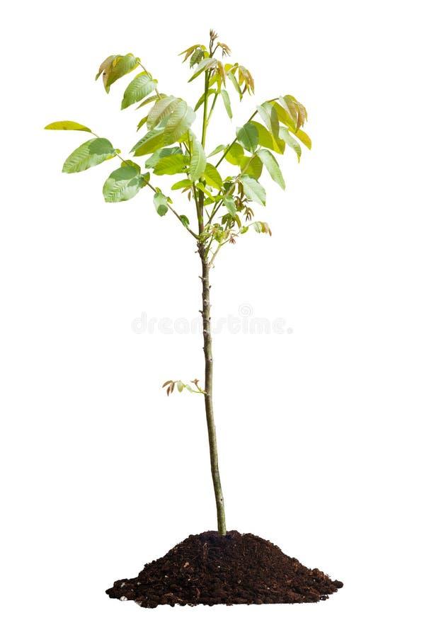 Jonge geïsoleerde okkernootboom royalty-vrije stock foto's