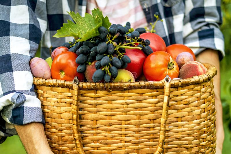 Jonge gebaarde mens in organisch natuurlijk bioecolandbouwbedrijf met vers ruw voedsel in mand op een de zomerdag royalty-vrije stock afbeelding