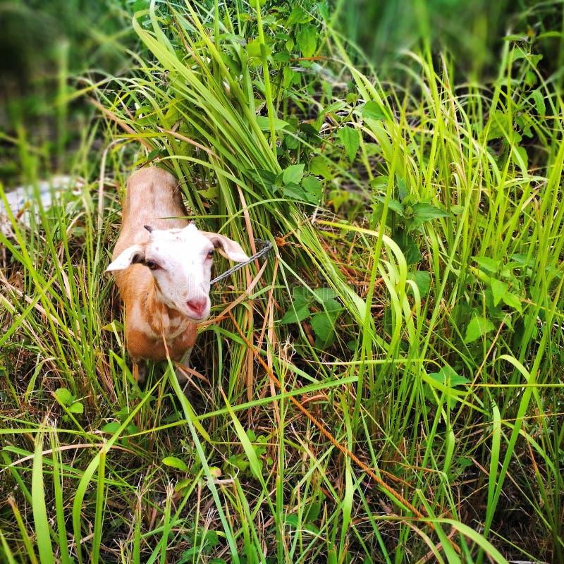 Jonge geit in lang gras royalty-vrije stock foto