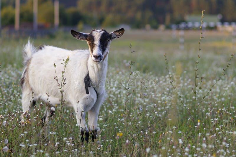 Jonge geit zonder hoorns royalty-vrije stock foto's