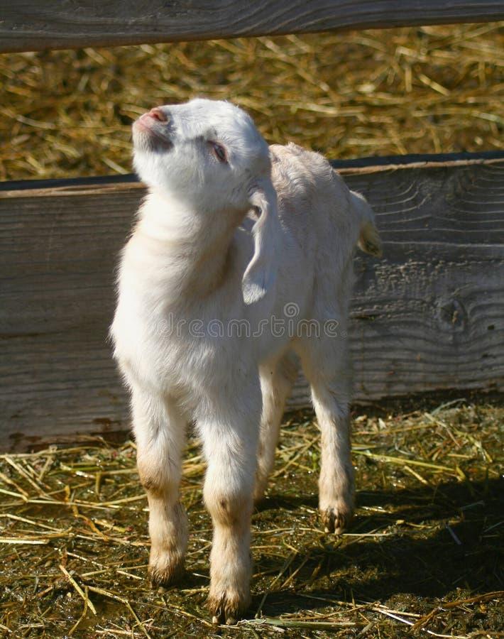 Jonge geitjes 0901 van de geit royalty-vrije stock afbeeldingen