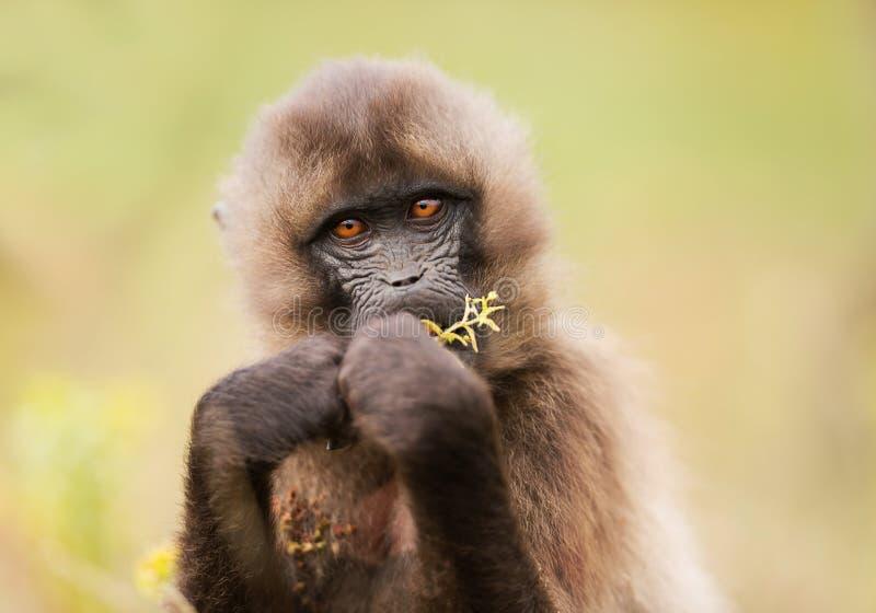 Jonge Gelada-aap die gras eten royalty-vrije stock fotografie