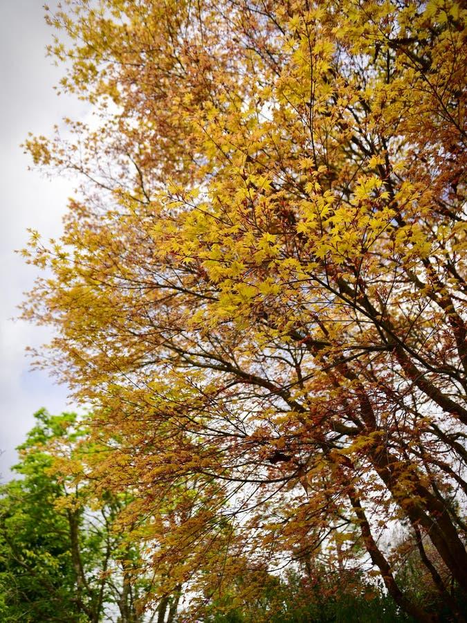 Jonge gele bladeren op bomen tijdens de lente in Chinese Geleerden` s Tuin, Hamilton Gardens royalty-vrije stock foto's