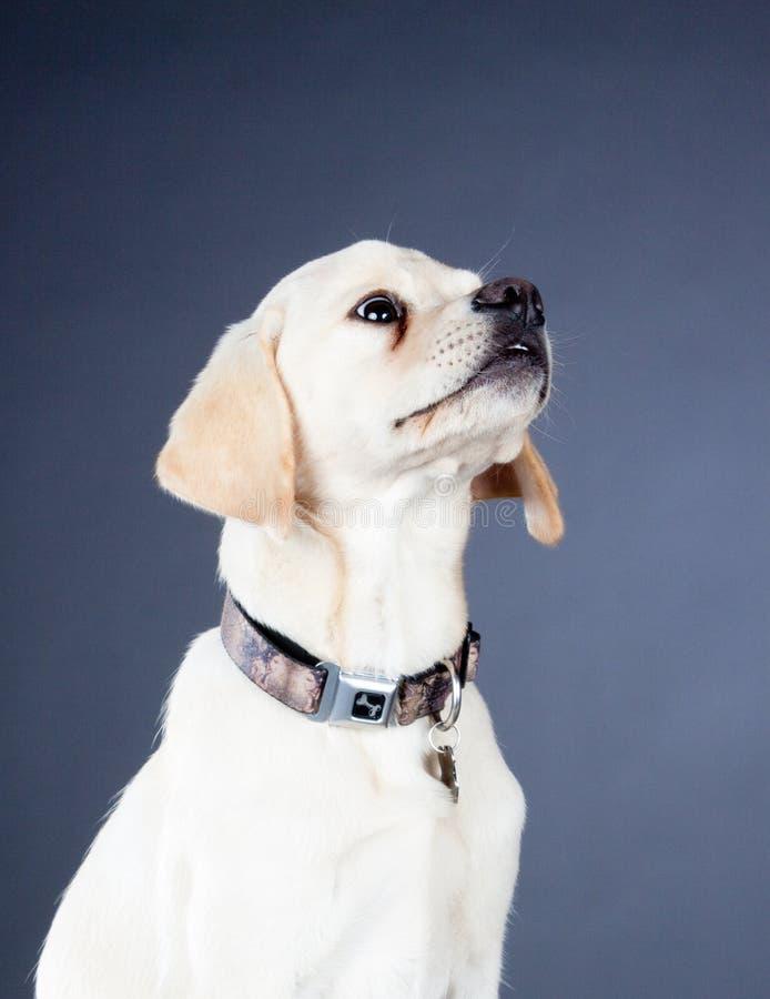 Jonge gele Labrador hond stock foto