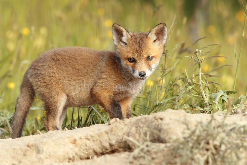 Jonge gemeenschappelijke Europese vos royalty-vrije stock foto's