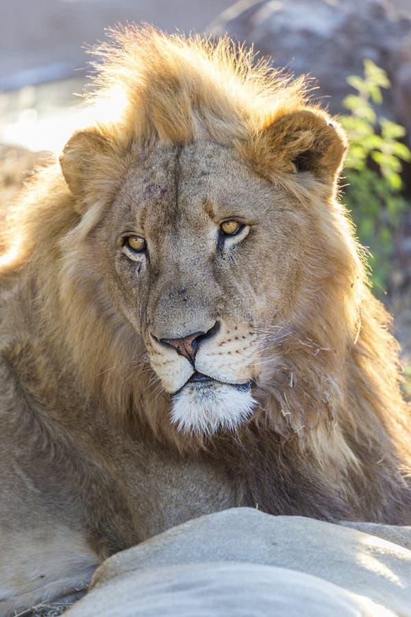 jonge gevangen mannelijke leeuw met hoofd en gezichtsdetail stock afbeeldingen
