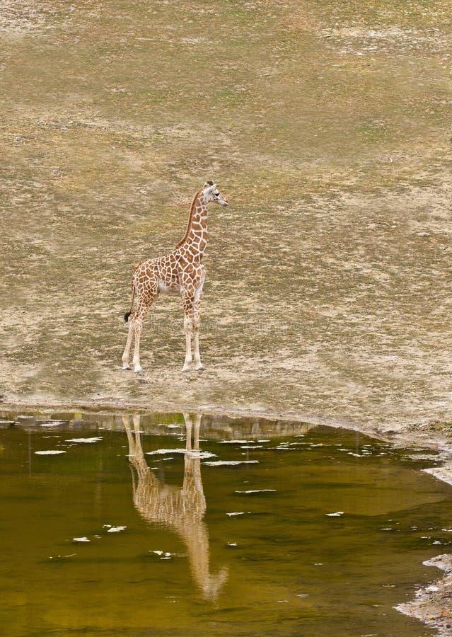 Jonge giraf die zich op de kust van Meer bevinden stock foto