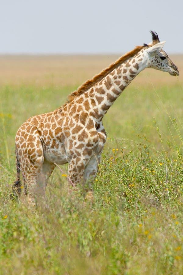 Jonge giraf in het gras stock afbeelding