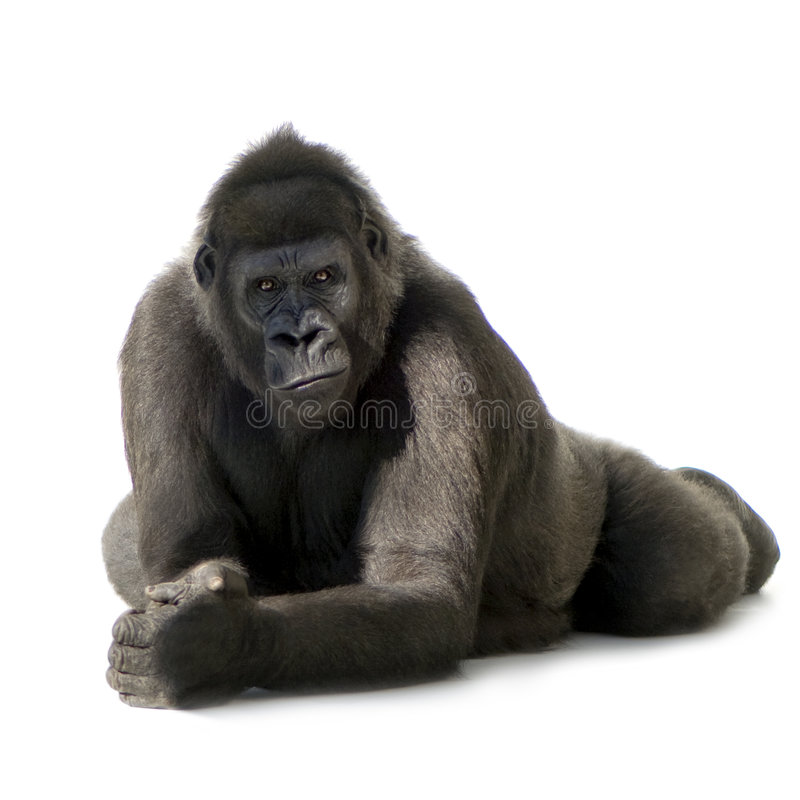 Jonge Gorilla Silverback stock foto