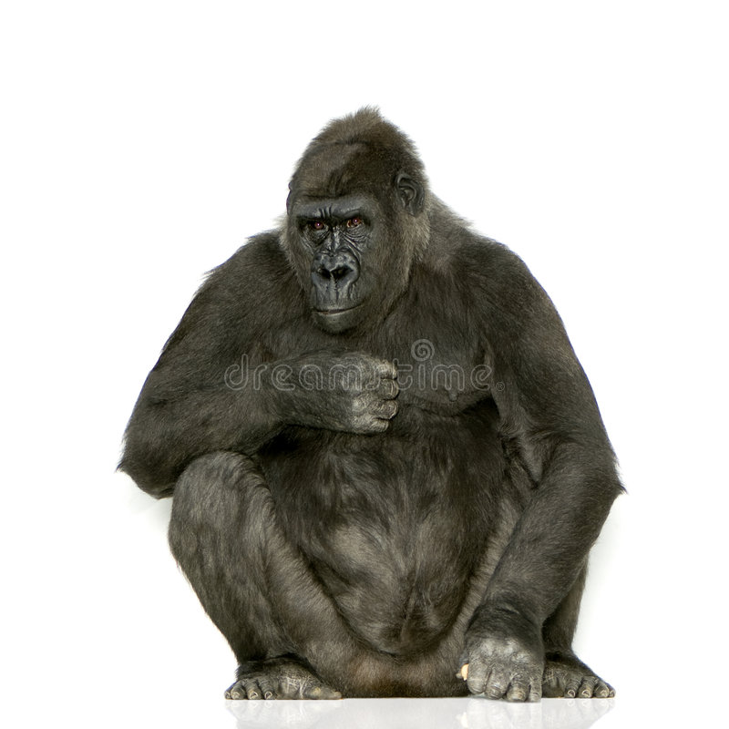 Jonge Gorilla Silverback stock afbeeldingen