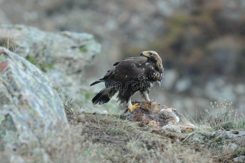 Jonge gouden adelaar die aas op het gebied eten stock afbeeldingen