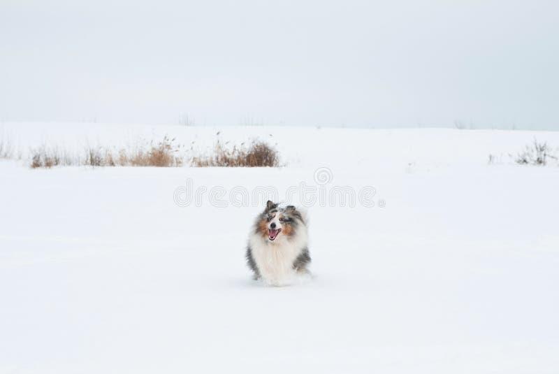 Jonge grappige sheltiespelen in de sneeuw royalty-vrije stock fotografie