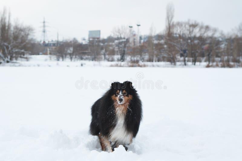 Jonge grappige sheltiespelen in de sneeuw royalty-vrije stock afbeeldingen