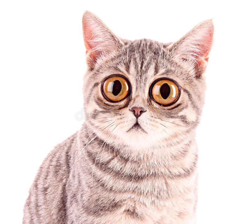 Jonge grappige verraste geïsoleerde kattenclose-up royalty-vrije stock afbeelding