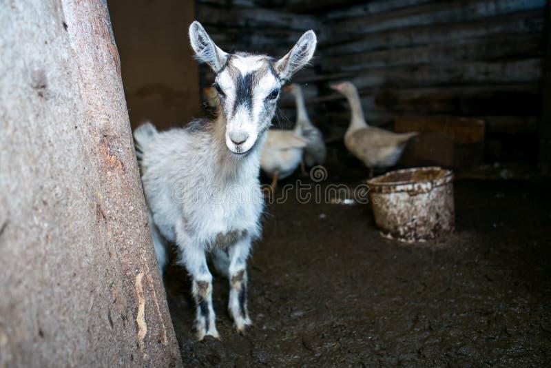 Jonge grijze babygeit in een koeiestal stock afbeeldingen