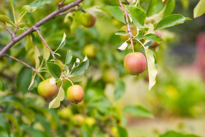 Jonge groene appelen op tak stock afbeeldingen