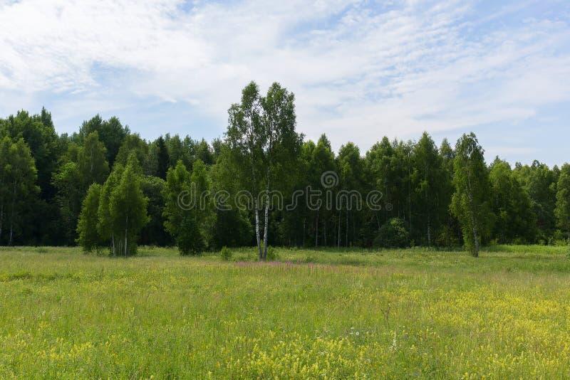 Jonge groene berken in een weide bij de rand van het bos op een duidelijke Zonnige ochtend Natuurlijk Landschap stock foto's