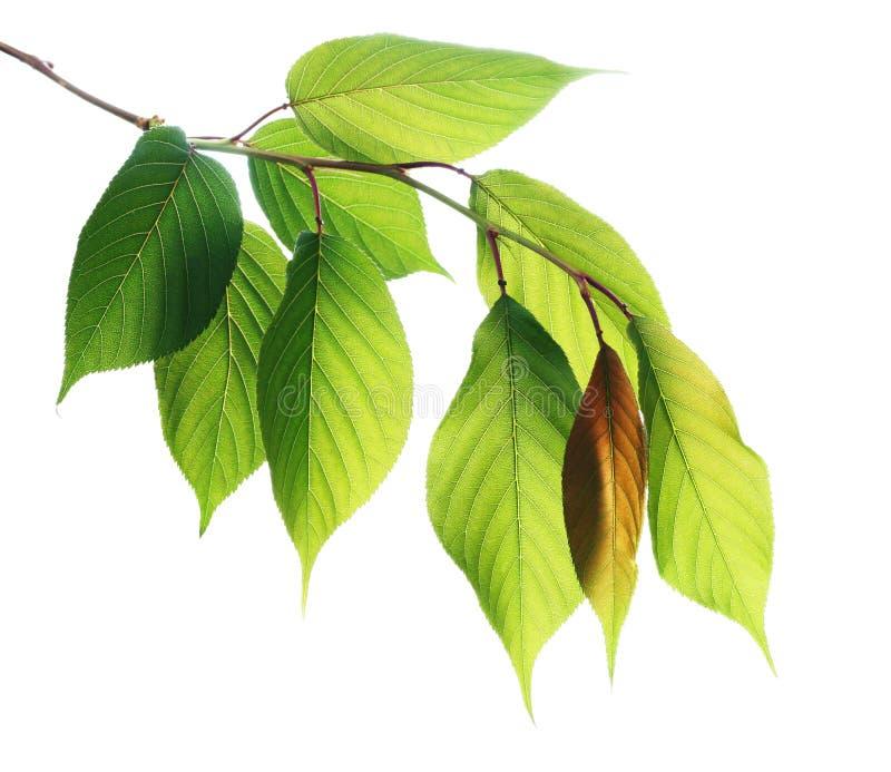 Jonge groene bladeren die op wit worden geïsoleerdt royalty-vrije stock fotografie