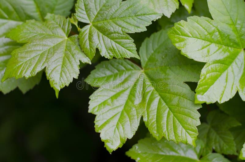 Jonge groene bladeren esdoorn E Esdoorngebladerte Natte bladeren na regen stock foto's