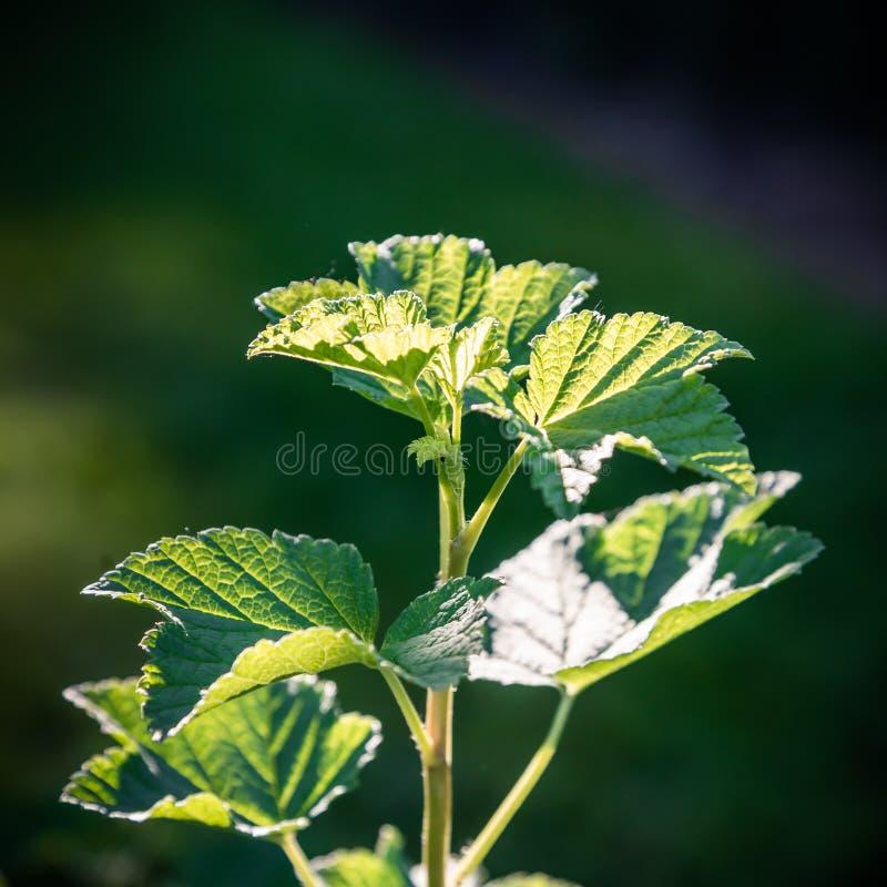 Jonge groene bladeren op een tak royalty-vrije stock foto