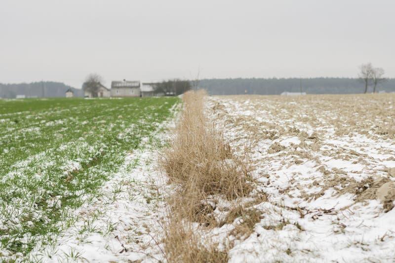 Jonge groene die spruiten in de winter, met witte sneeuw wordt behandeld stock afbeeldingen