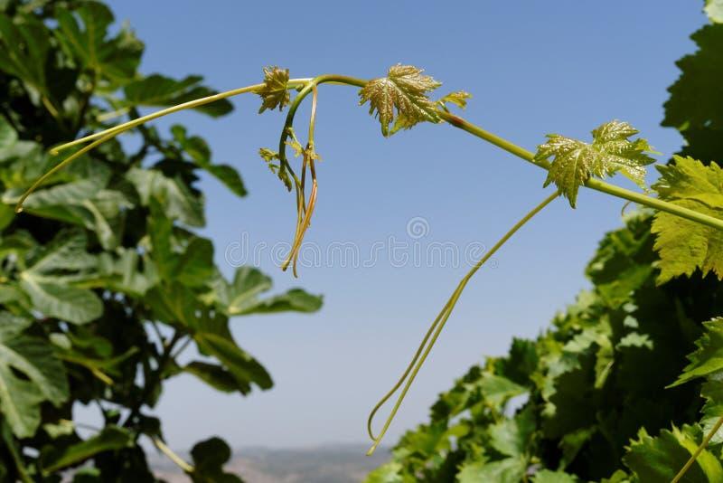 Jonge groene druivenbladeren op hemelachtergrond royalty-vrije stock foto