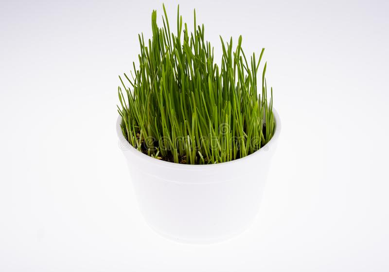 Jonge groene grasspruiten voor huisdier het voeden royalty-vrije stock foto