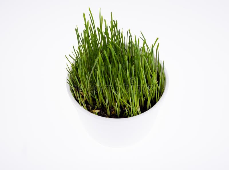 Jonge groene grasspruiten voor huisdier het voeden royalty-vrije stock afbeeldingen