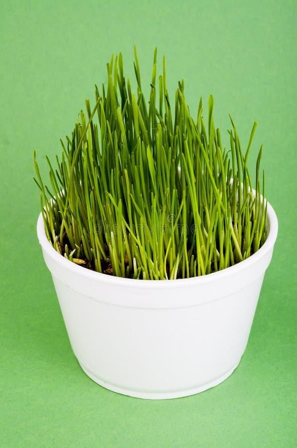 Jonge groene grasspruiten voor huisdier het voeden stock foto's