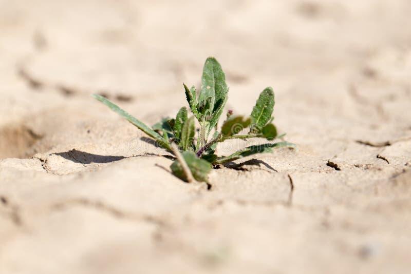 Jonge groene spruit in de droge grond stock afbeeldingen