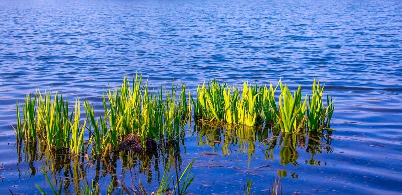 Jonge groene stammenzegge op het blauwe water als achtergrond in river_ stock foto