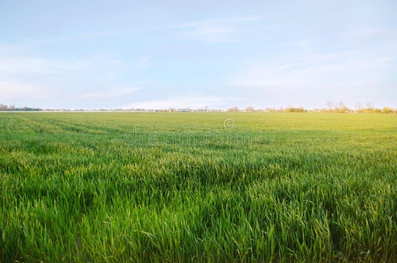 Jonge groene tarwezaailingen die op een gebied groeien Landbouw farming Cultuur van tarwe en korrelgewassen Selectieve zachte nad stock foto