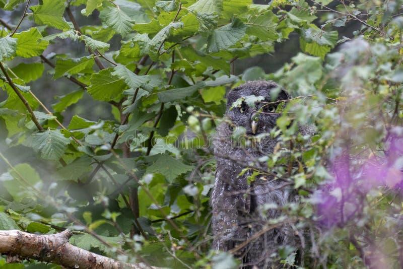 Jonge grote grijze uil, Strix-nebulosa, die onder het boomgebladerte verbergen royalty-vrije stock afbeeldingen