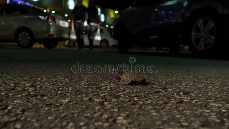 Jonge hatchlings van de hawksbillschildpad worden nu gedesorienteerd door de lichten van de stad groot-brittannië stock fotografie