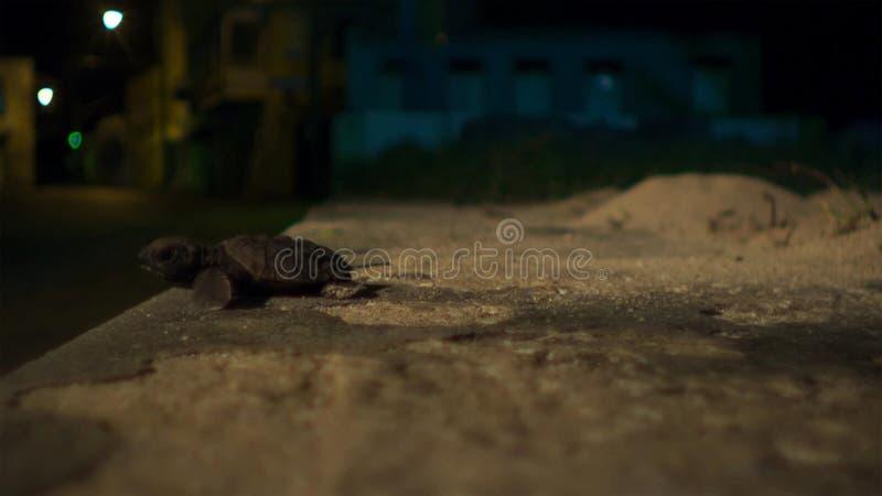 Jonge hatchlings van de hawksbillschildpad worden nu gedesorienteerd door de lichten van de stad groot-brittannië stock foto's