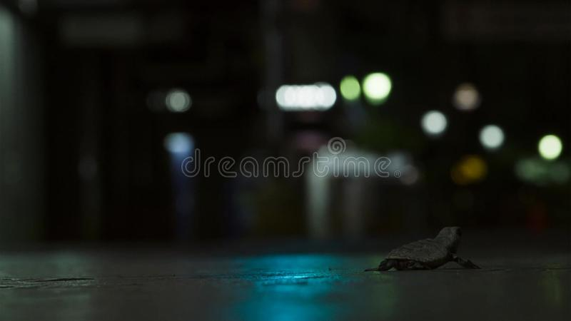 Jonge hatchlings van de hawksbillschildpad worden nu gedesorienteerd door de lichten van de stad groot-brittannië royalty-vrije stock foto