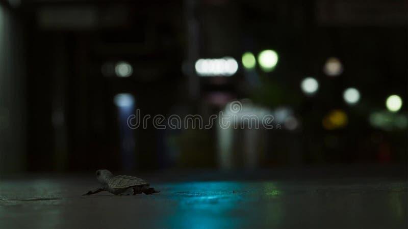 Jonge hatchlings van de hawksbillschildpad worden nu gedesorienteerd door de lichten van de stad groot-brittannië stock afbeelding