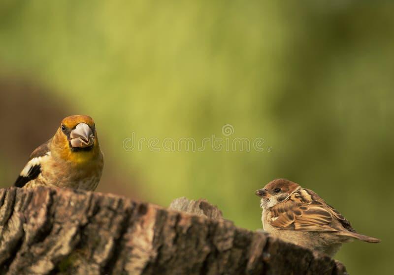 Jonge Hawfinch en jonge Boommus op de boomboomstam stock foto's