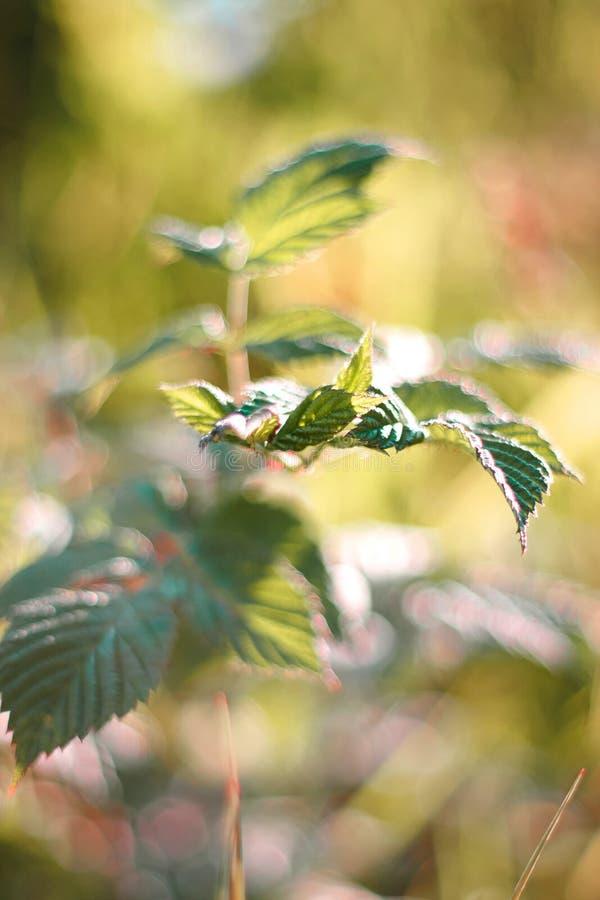 Jonge heldergroene bladeren van een struik royalty-vrije stock afbeeldingen