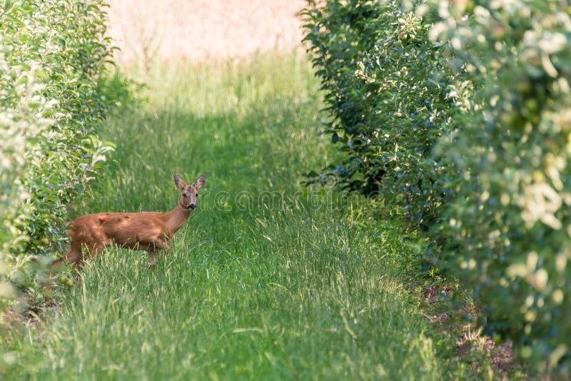 Jonge herten tussen de rijen van bomen van een boomgaard stock afbeelding