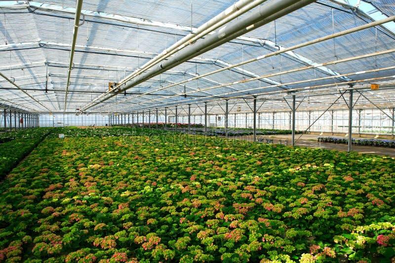 Jonge hydrangea hortensiainstallaties stock afbeelding