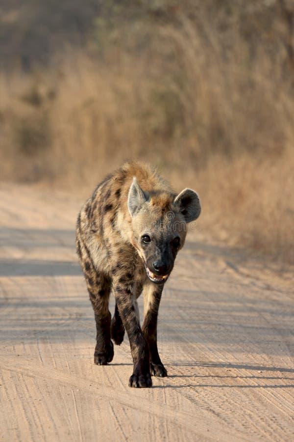 Jonge hyena royalty-vrije stock afbeelding