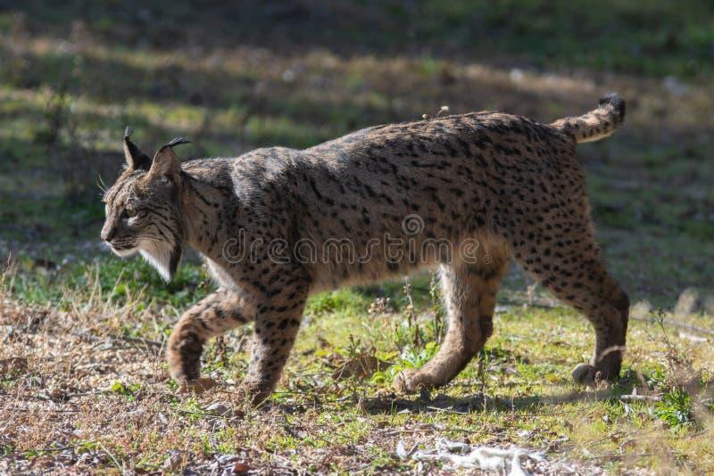 Jonge Iberische lynx in Spanje stock foto